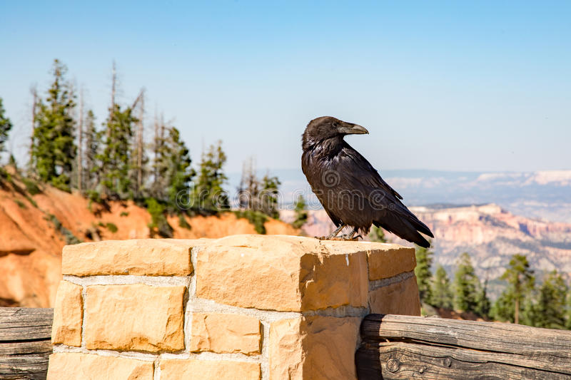 Raven at Bryce Canyon Utah stock photo