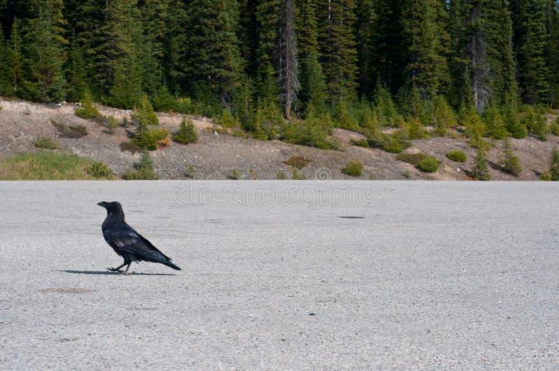 Raven che cammina in un parcheggio fotografia stock