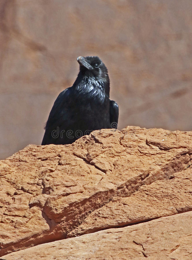 Raven. Common Crow Standing On Red Rocks royalty free stock photos