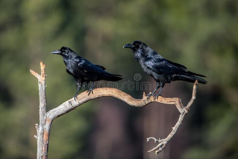 Raven Raven. Common ravens Corvus corax on a branch with a nice green defocused background. In Norse mythology, Huginn from the Old Norse for `thought` and royalty free stock photo