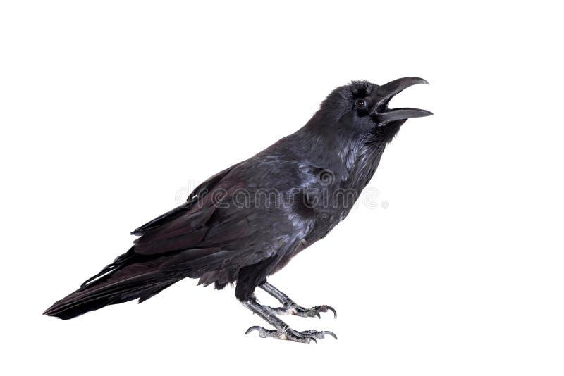 Raven commun d'isolement sur le blanc images stock