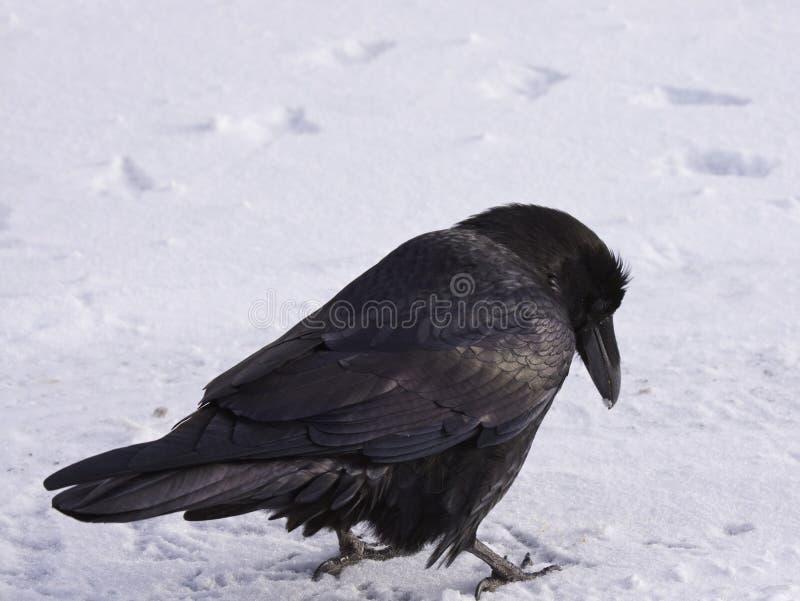 Raven commun marchant dans la neige, Alberta, Canada photo libre de droits
