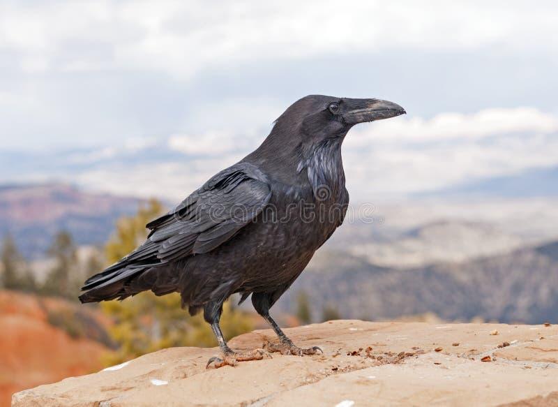 Raven comune su un bordo della roccia fotografia stock libera da diritti