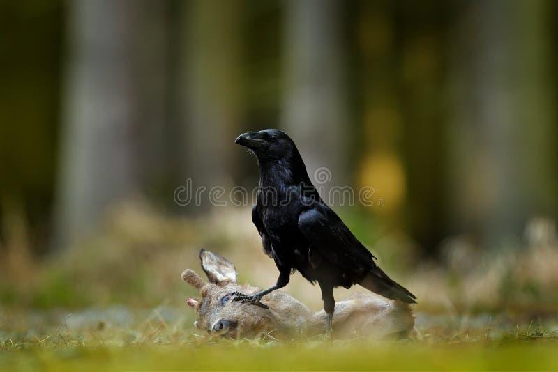 Raven con l'europeo morto Roe Deer, carcassa nell'uccello del nero della foresta con la testa sul sentiero forestale Behavir anim fotografia stock