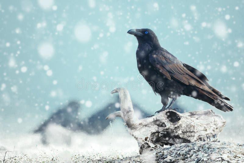 Raven con l'occhio azzurro che si siede su un cranio sulla neve Fotografia stilizzata fotografia stock