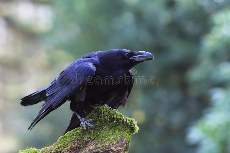Download Raven(Corvus Corax) Royalty Free Stock Photos - Image: 19152338