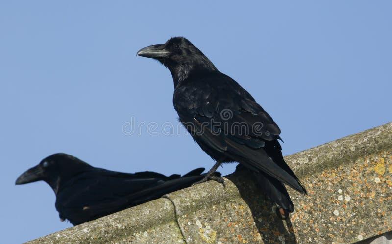 Raven Corvus corax op het dak van een landbouwbedrijfgebouw dat wordt neergestreken stock foto's
