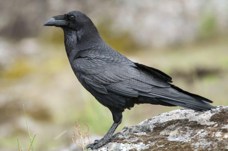 Raven - Corvus corax,body and plumage. Raven - Corvus corax, Portrait of body and plumage royalty free stock photography