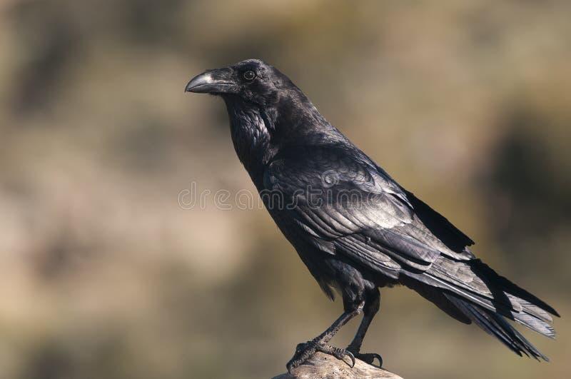 Raven - Corvus corax,body and plumage. Raven - Corvus corax, Portrait of body and plumage royalty free stock photo