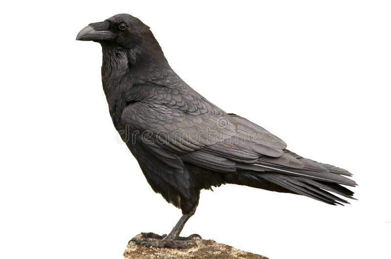 Raven - Corvus corax body and plumage, white background royalty free stock images