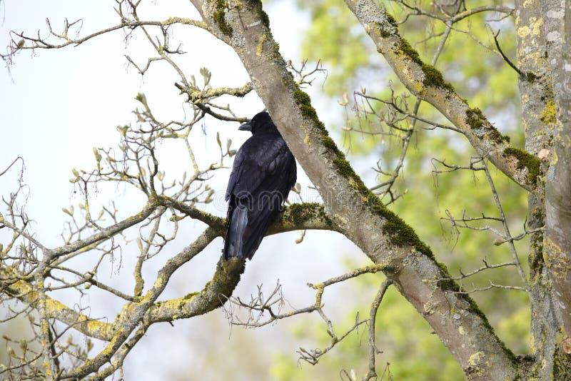 Raven Corvus corax som sitter i ett träd royaltyfri fotografi