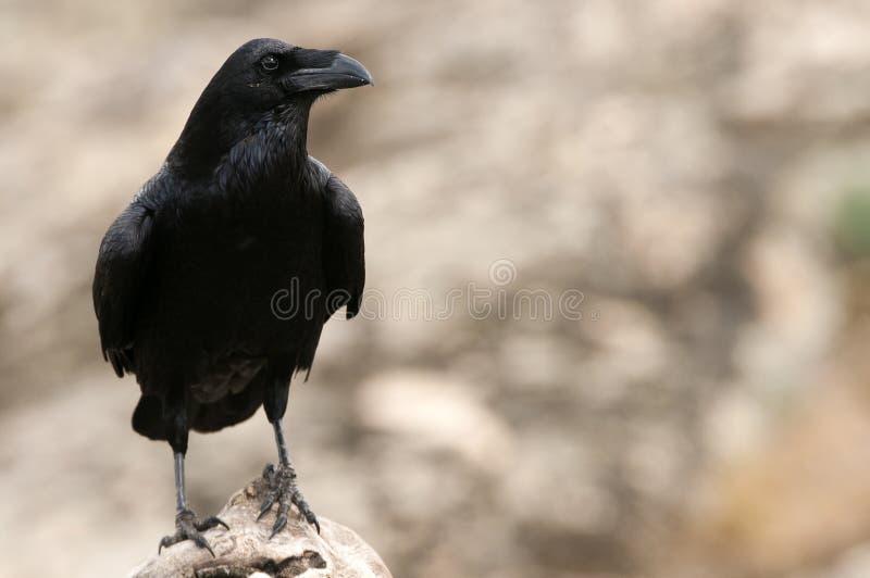 Raven - Corvus corax, t of body and plumage. Raven - Corvus corax, Portrait of body and plumage stock photos