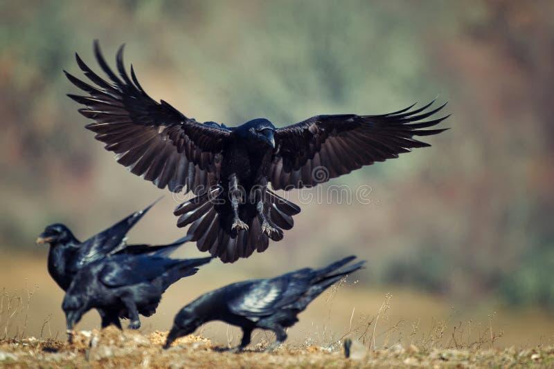 Raven Corvus corax tijdens de vlucht stock fotografie