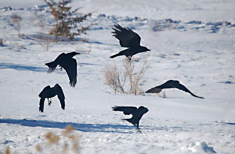 Raven Dance. Ravens silhouette in flight over snow stock photos