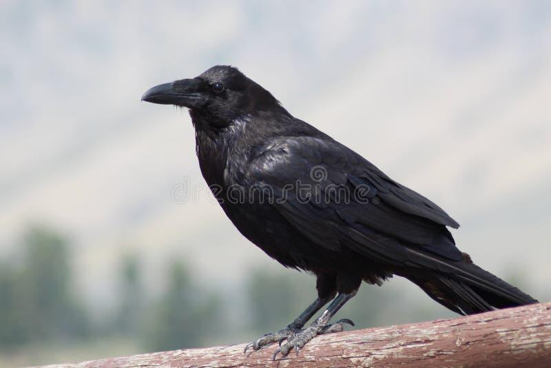 Raven dans les montagnes image libre de droits
