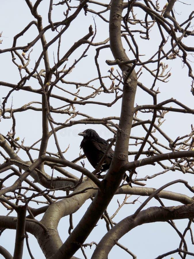 Raven dans un arbre photo libre de droits