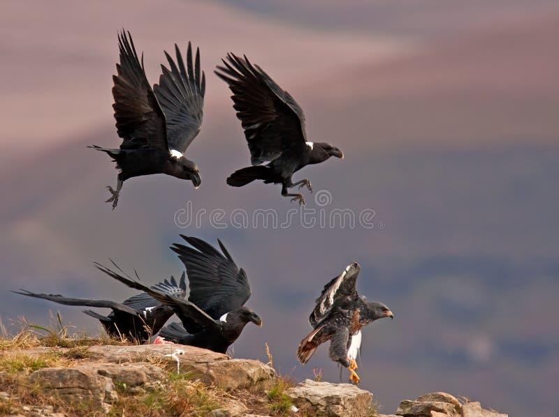Raven die weg een Buizerd van de Jakhals achtervolgen royalty-vrije stock fotografie