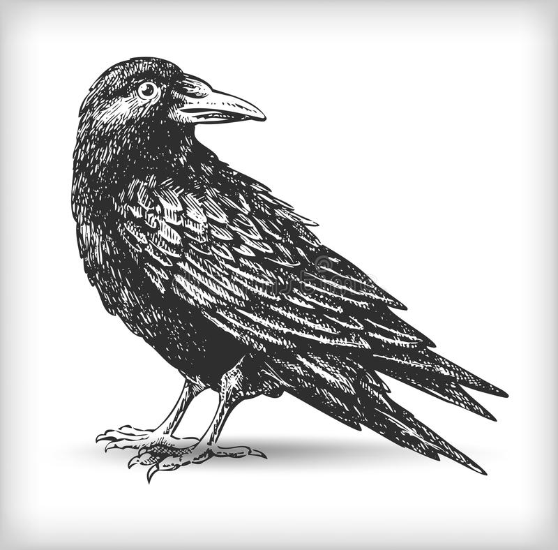 Raven drawing. Raven vector drawing high quality