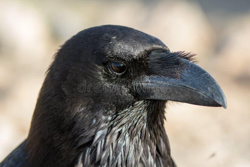 Raven du nord aux Îles Canaries de Fuerteventura photographie stock
