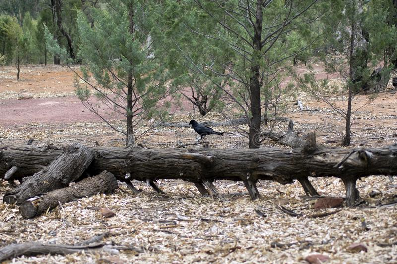 Raven, Wilpena Pound, Flinders Ranges, South Australia, Australia. Raven on a fallen log, Wilpena Pound, Flinders Ranges, South Australia, Australia royalty free stock images