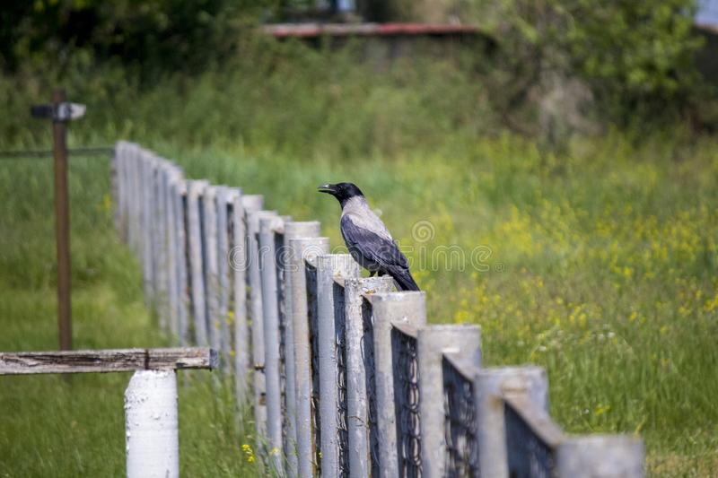 Raven on the fence. wary raven.  Spring. Raven on the fence. wary raven. green meadow. gray fence. Spring. a big bird on a gray fence. black Raven royalty free stock image