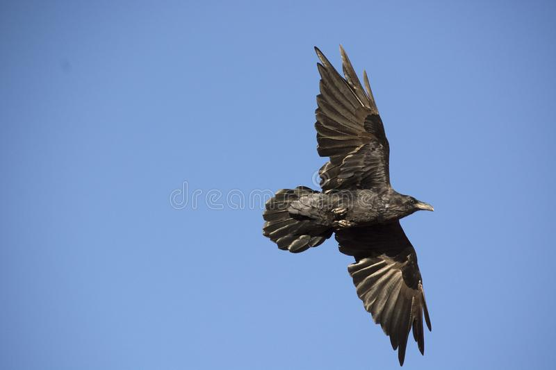 Raven in Flight with Black Feathers Against Blue Sky stock image