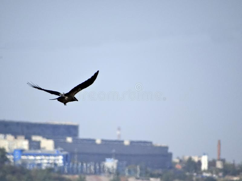 Flight of the crow royalty free stock images