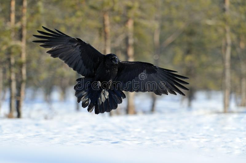 Raven in flight stock images