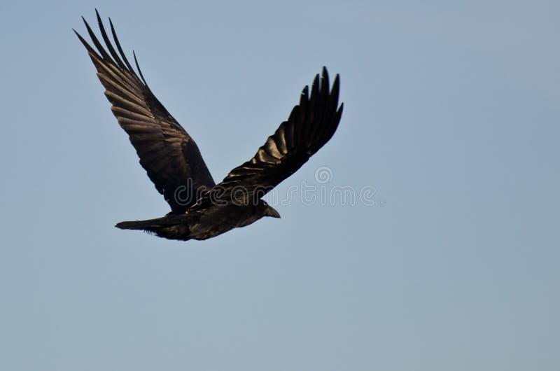 Raven Flying común en un cielo azul imágenes de archivo libres de regalías