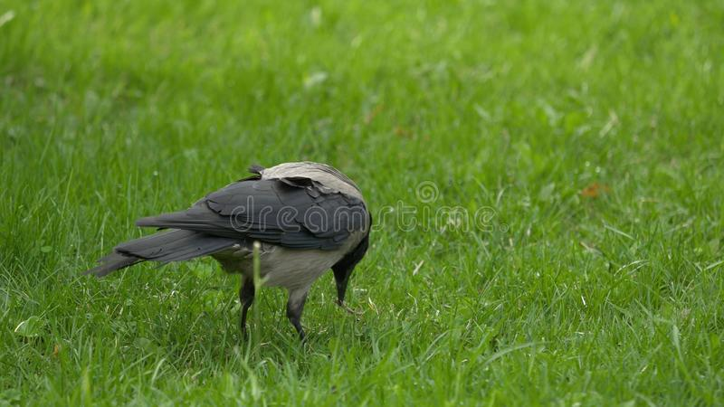 A raven holds his food prize. Portrait of a black crow, raven or rook. Black jungle crow standing and eating a piece of stock photography