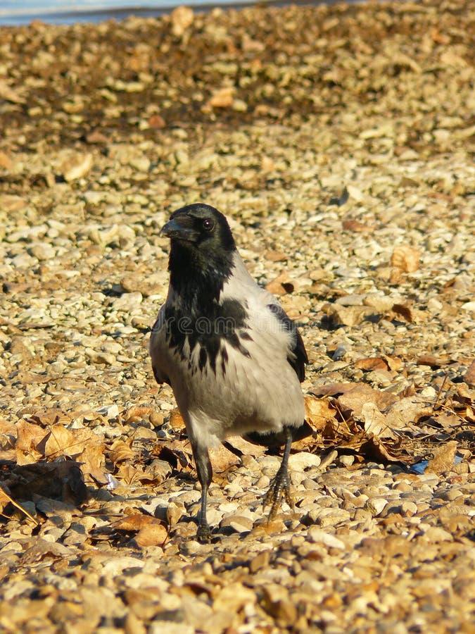 Raven isolé photographie stock