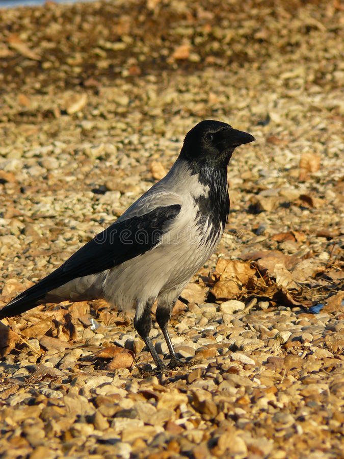 Raven isolé photos libres de droits