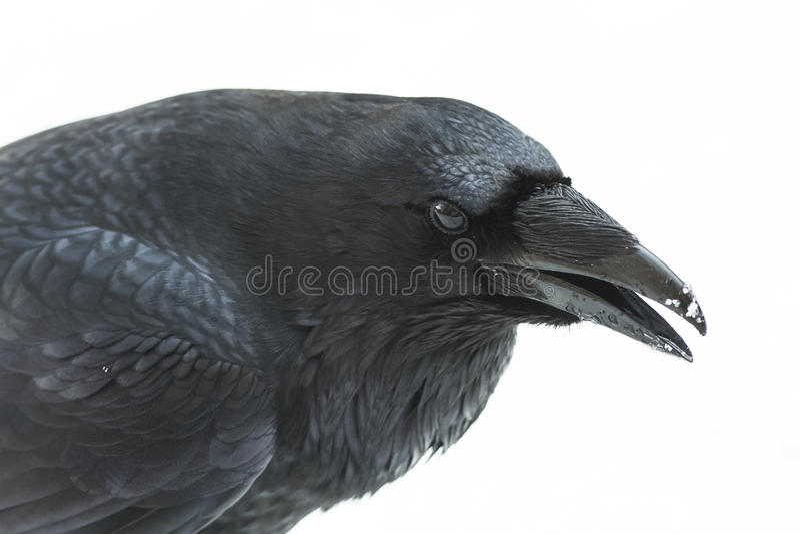 Raven Isolated stock afbeeldingen