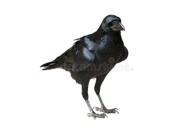 Raven Isolated - korpsvart anseende på lägenhetjordning royaltyfria foton