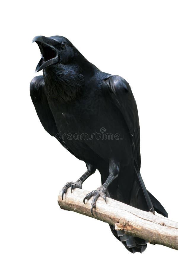Raven Isolated - korpsvart kalla ut på trädfilial royaltyfri bild