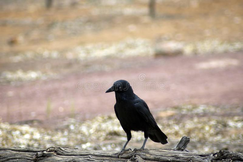 Raven, Wilpena Pound, Flinders Ranges, South Australia, Australia. Raven on a log, Wilpena Pound, Flinders Ranges, South Australia, Australia royalty free stock images