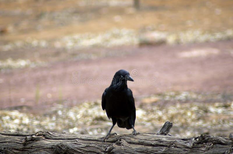 Raven, Wilpena Pound, Flinders Ranges, South Australia, Australia. Raven on a log, Wilpena Pound, Flinders Ranges, South Australia, Australia royalty free stock photo