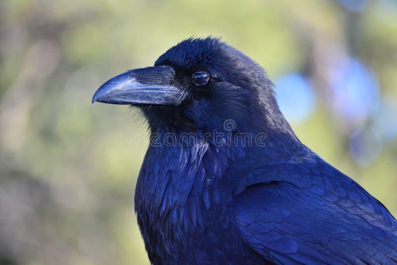 Raven noir images libres de droits