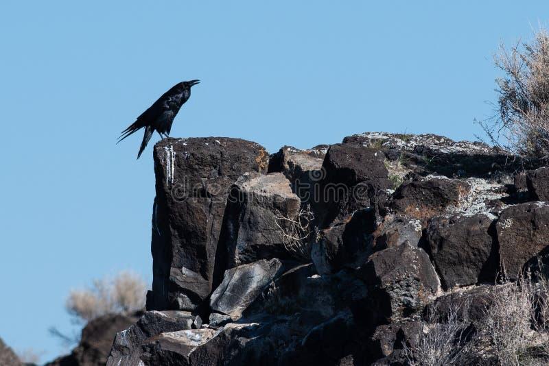 Raven Resting negra com?n en Rocky Canyon Ledge fotos de archivo