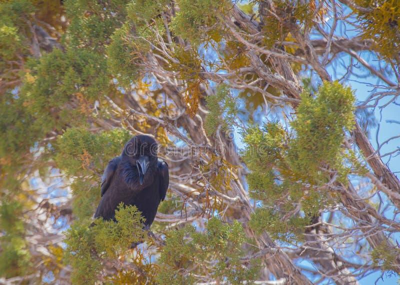 Raven riant dans l'arbre chez Grand Canyon, Arizona images stock