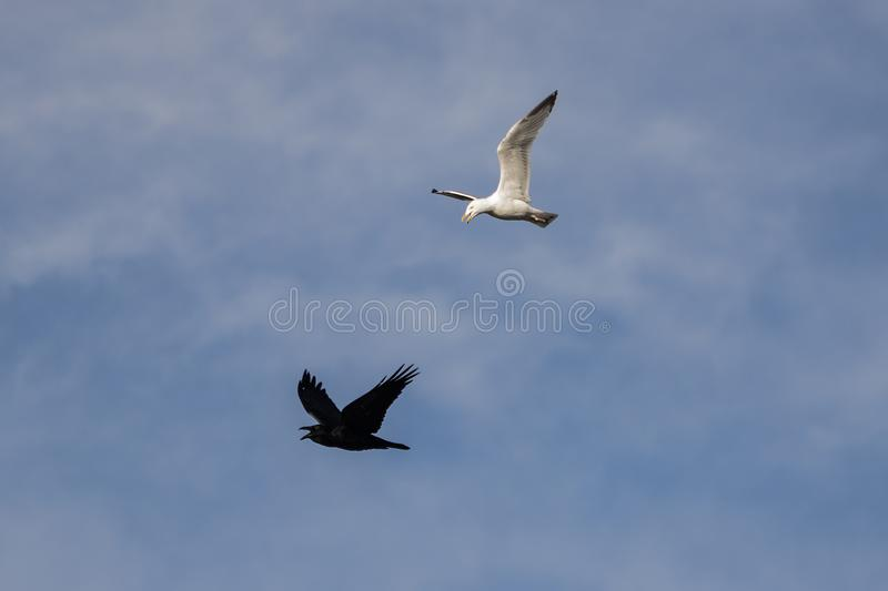 Raven and seagull royalty free stock image