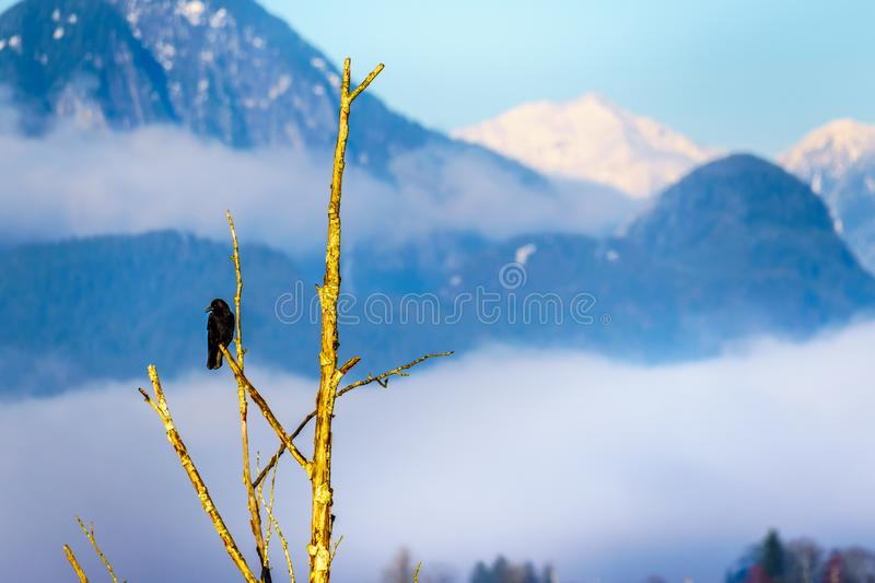 Raven sitting ona tree branch in Pitt Polder at the town of Maple Ridge in the Fraser Valley of British Columbia, Canada. On a clear and cold winter day royalty free stock image