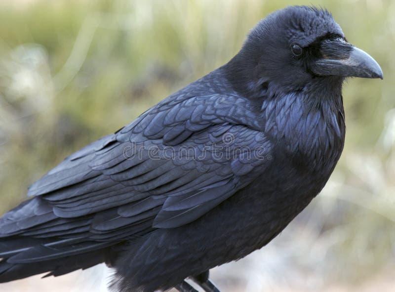 Raven, stationnement national de Canyonlands images libres de droits