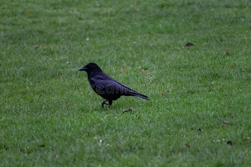 Raven stepping in the grass. Common raven: Corvus corax. Bird stepping through vivid green grass stock photo