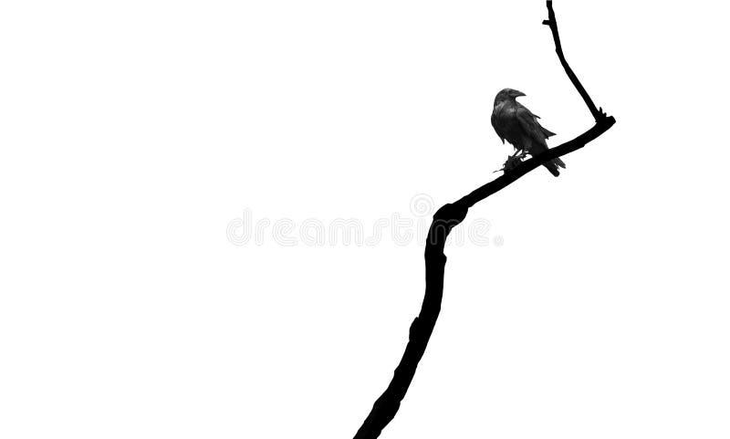 Raven sur un branchement image stock