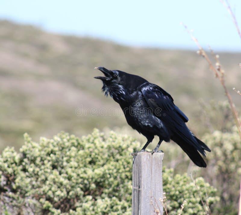 Raven Talking fotografie stock