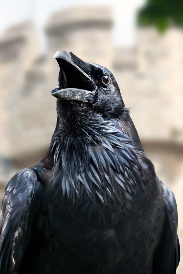 Portrait of royal black raven, Tower of London - UK stock photography