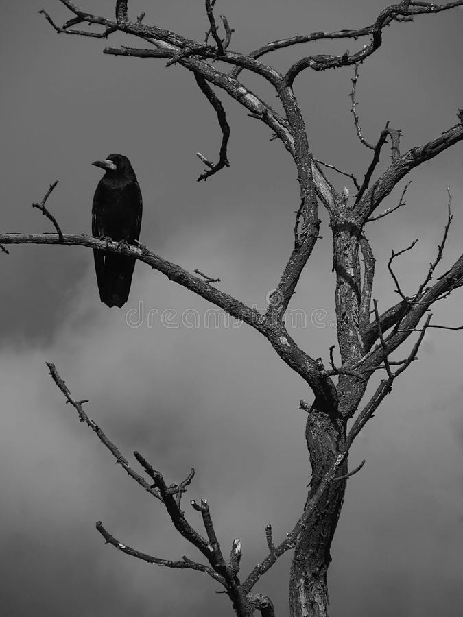 Download Raven on a tree stock image. Image of animal, white, grave - 16820755