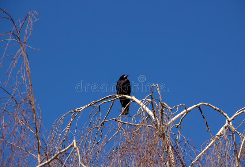 Raven on Tree. Raven on Birch Tree Branch royalty free stock photography