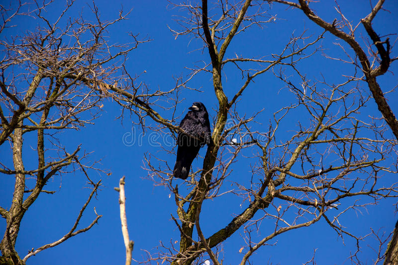 Raven on Tree. Raven Sitting on Tree with Blue Sky Above stock images